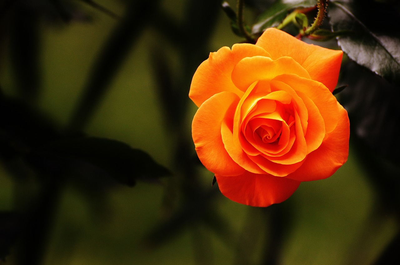 Fast 1 Milliarde Rosen aus den Niederlanden