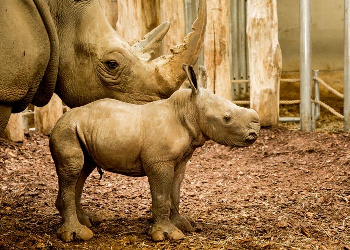Nashorn-Nachwuchs im königlichen Burgers' Zoo