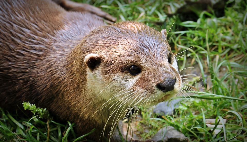 Zeldzame otter gespot in Nederlands-Duits project