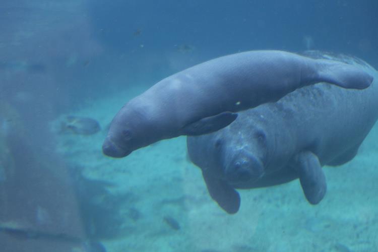 Tierpfleger entdecken Seekuh-Nachwuchs in Burgers' Mangrove