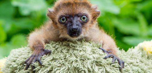 Affen allein Zuhaus