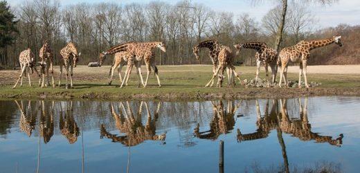 Corona macht kreativ: Filmaufnahmen aus dem Burgers' Zoo für Zuhause