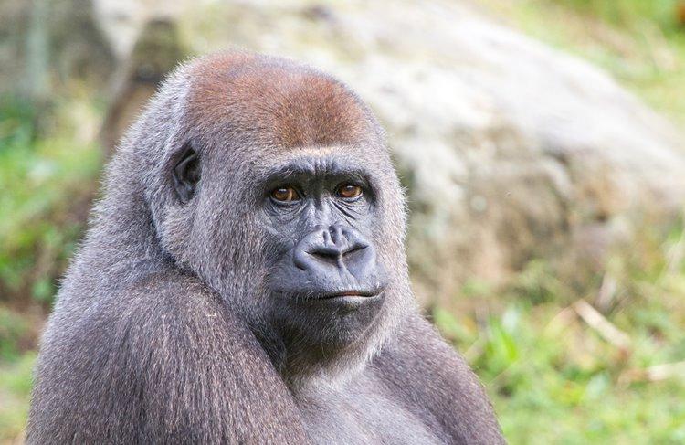 Affenpark Apenheul erwartet Gorilla-Nachwuchs