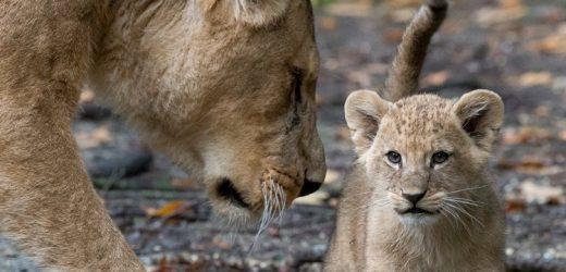 Löwennachwuchs im Burgers' Zoo bereit für das Außengehege