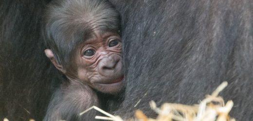 Apenheul: 50. Gorilla zum 50-jährigen Jubiläum