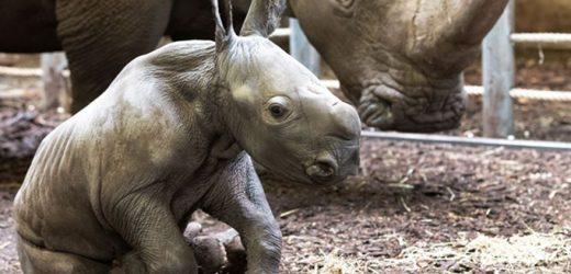 Nachwuchs bei den Nashörnern im Burgers' Zoo