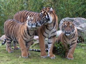 Tigermutter Jarum mit ihren einjährigen Töchtern