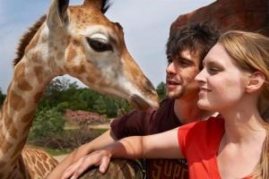 Zoom giraffe